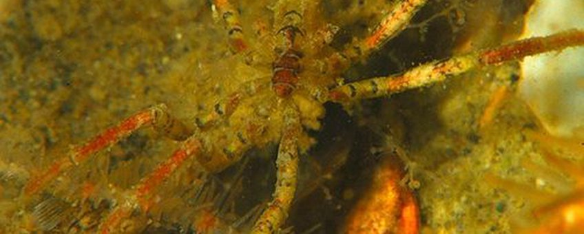 Exotische zeespin cf Ammothea hilgendorfi, Oosterschelde 2013