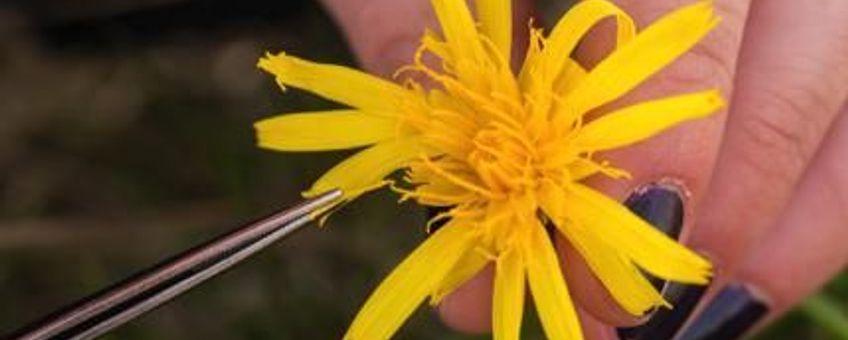 Alleen handmatige bestuiving van de bloemhoofdjes leverde nog goed zaad op