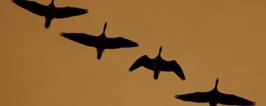 vogels in vlucht