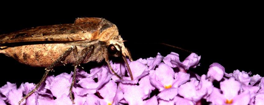 huismoeder op vlinderstruik - primair
