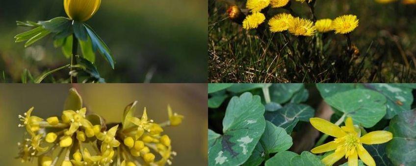 Gele voorjaarsbloeiers (vlnr winterakoniet, klein hoefblad, gele kornoelje en gewoon speenkruid)