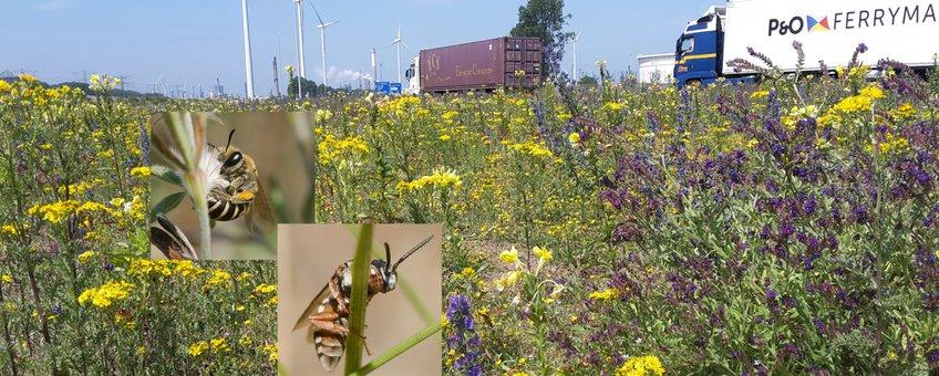 Het bloemrijke havengebied is rijk aan bijen.