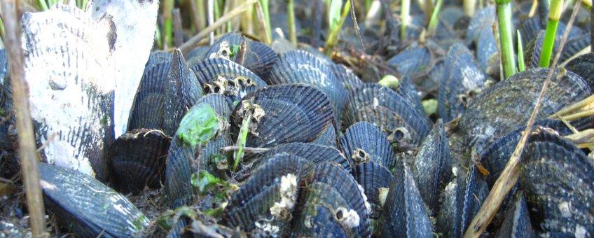 Slijkgras met mossels op Rhode Island