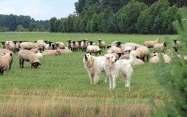 Schaapskudde met kuddewaakhonden op de Sallandse Heuvelrug EENMALIG GEBRUIK