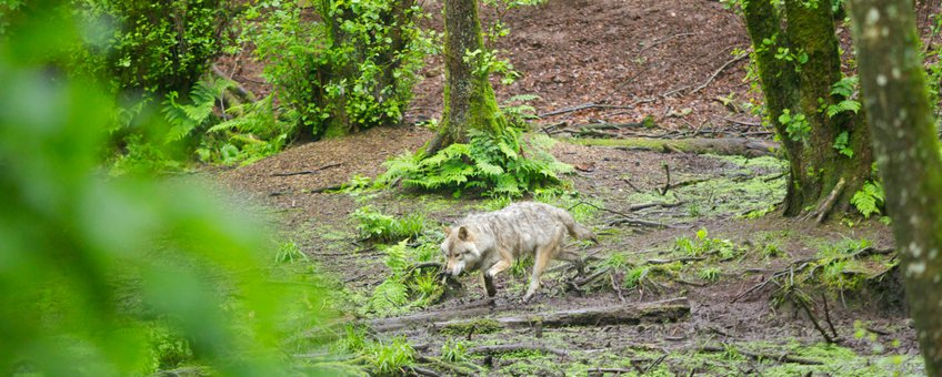 Europese grijze wolf EENMALIG GEBRUIK
