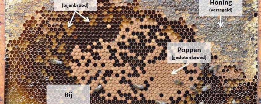 Raam uit een bijenkast met stuifmeel, bijenpoppen (in verzegeld broed), honing en nog een paar bijtjes (de rest van de bijen is er even afgehaald zodat het broed en het stuifmeel beter te zien is)