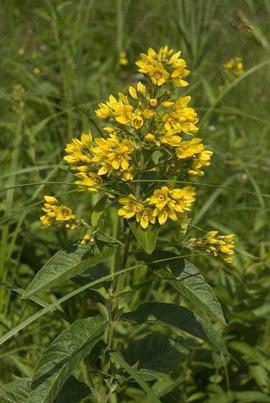 Lysimachia vulgaris, Grote wederik, garden loosestrife