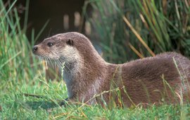 Lutra lutra. Otter