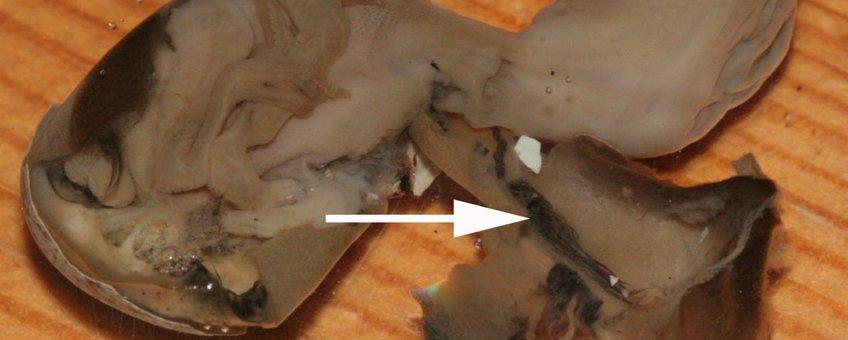 Embryonale afwijkingen bij Graspieper. veergroei op het vruchtvlies