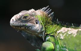 Antilliaanse leguaan (Iguana delicatissima) - eenmalig gebruik WUR