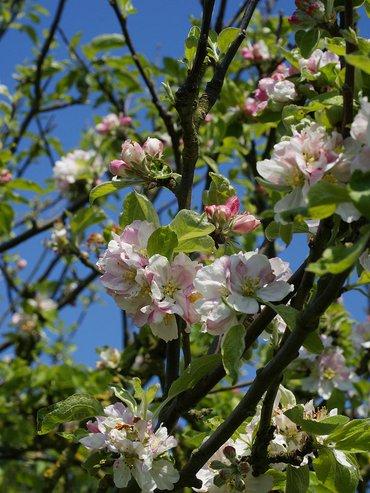 Wilde appel in bloei