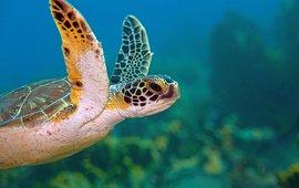 Green turtle. Groene zeeschildpad