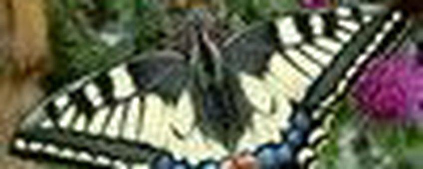 koninginnenpage klein