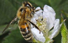 Honingbij aan het bestuiven