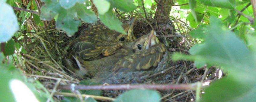 Nest zanglijsters