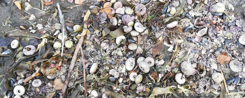 Aangespoelde zee-egels, Kamtsjatka, Rusland