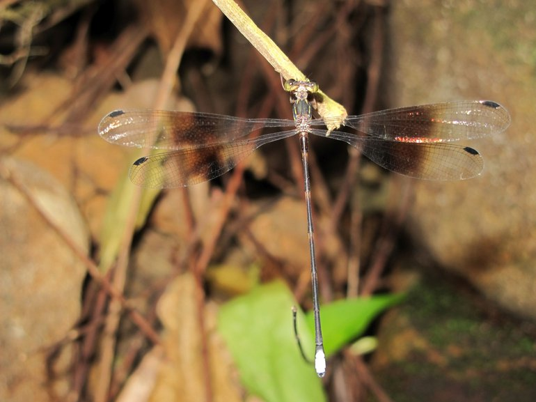 Amanipodagrion gilliesi is the only representative of the family Amanipodagrionidae and is known from just one stream in Tanzania