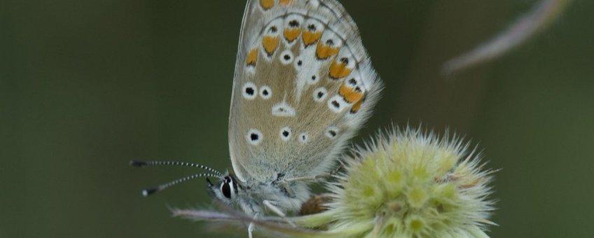 Aricia agestis. Bruin blauwtje