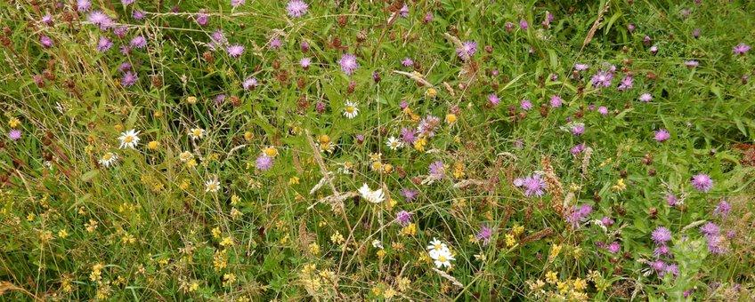 inheems bloemrijk grasland