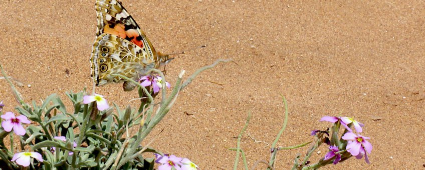 distelvlinder in Atlasgebergte