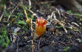 Thismia rodwayi Tasmania