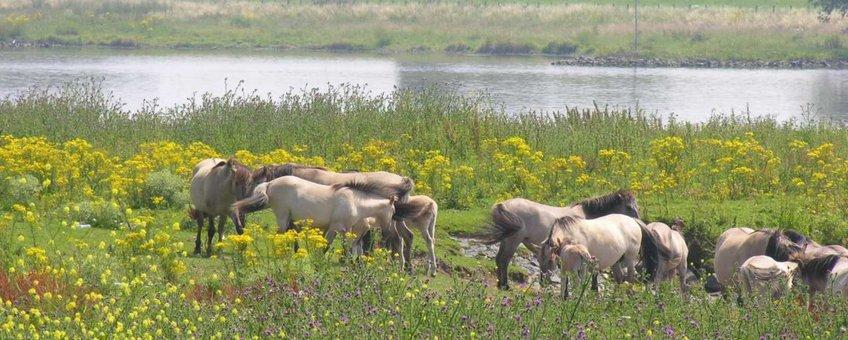 Palmerswaard Rijnoever paarden