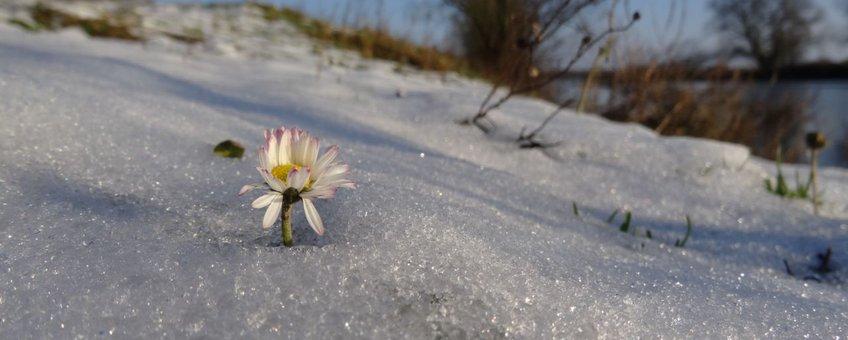 Madeliefje in de sneeuw