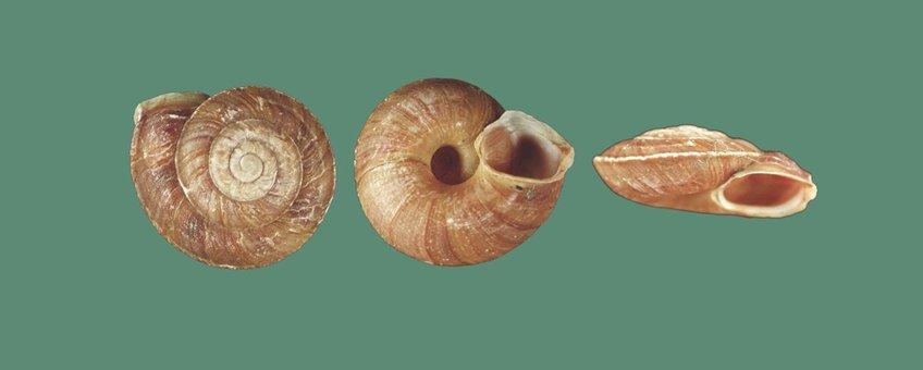Slakkenhuis van de Steenbikker: van boven- en onderaf gezien bijna rond, van opzij gezien plat samengedrukt, met een hoekige mond en een 'kiel' rondom het midden van de windingen