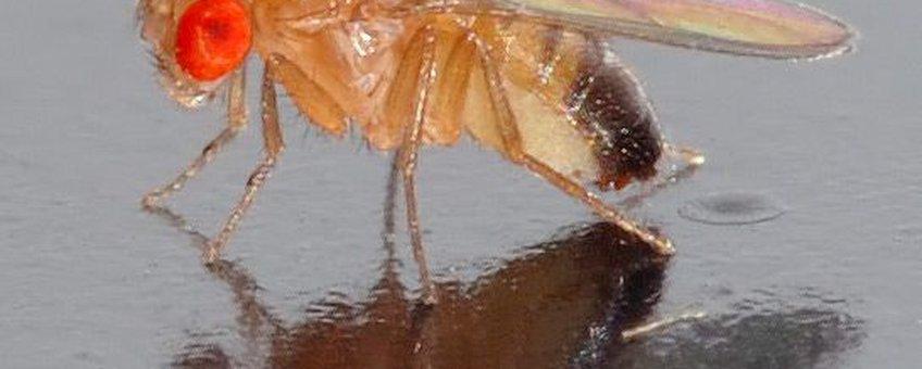 Drosophila melanogaster. Fruitvliegje. CCA-SA-licentie