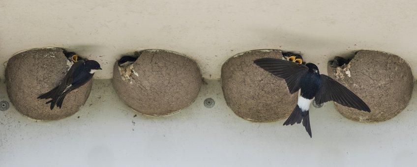 Huiszwaluwen maken regelmatig gebruik van kunstnesten.