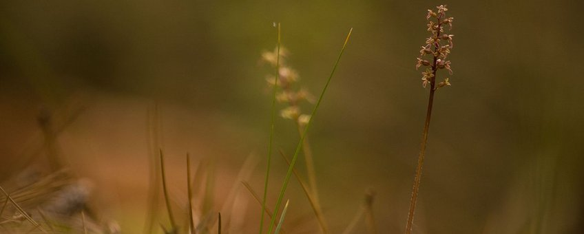 Kleine keverorchis Werkgroep Europese Orchideeën