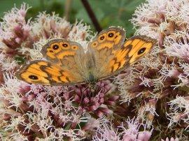 argusvlinder op koninginnenkruid