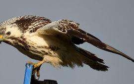 De buizerd behoord tot de vaakst ingevoerde vogel van Nederland.