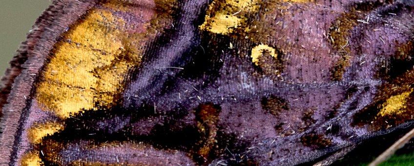 akelei-uil detail