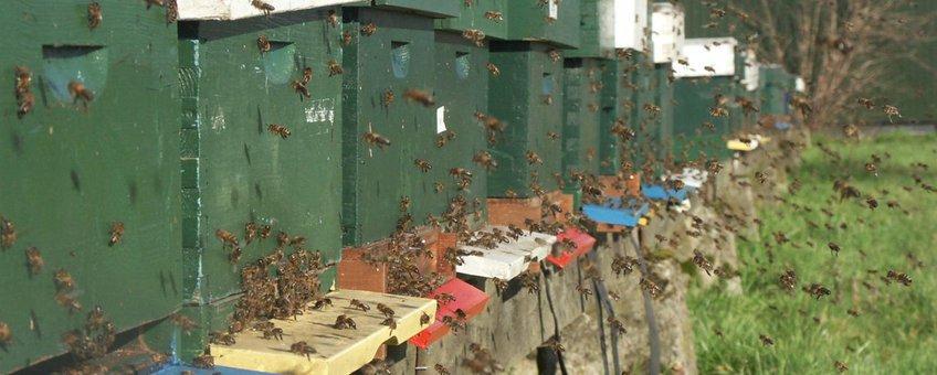 Reinigingsvlucht honingbijen