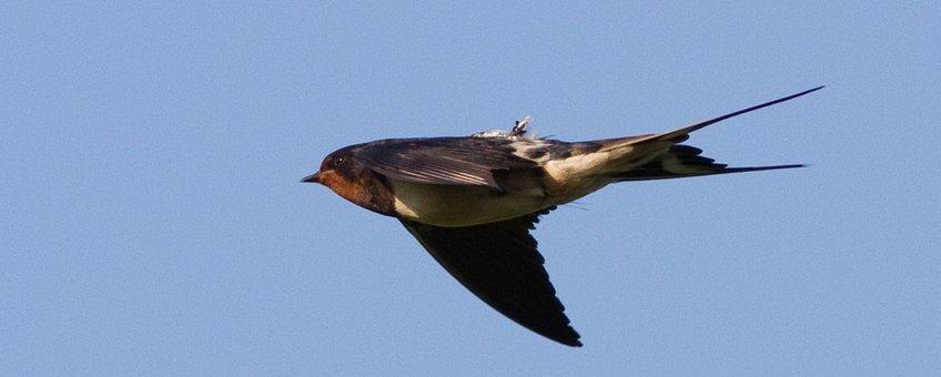 Boerenzwaluw met geolocator. Te gebruiken in andere media, na toestemming fotograaf (voor publicatie).
