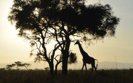 Een giraf bij zonsopkomst in Amboseli National Park, Kenia.