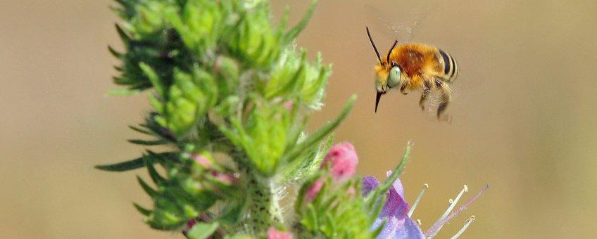 Vliegend mannetje kleine sachembij, Belgie