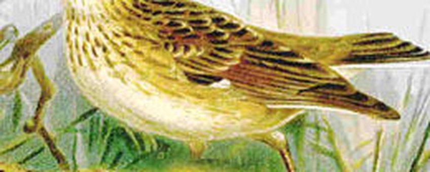 Boomleeuwerik, Naumann, Naturgeschichte der Vögel Mitteleuropas