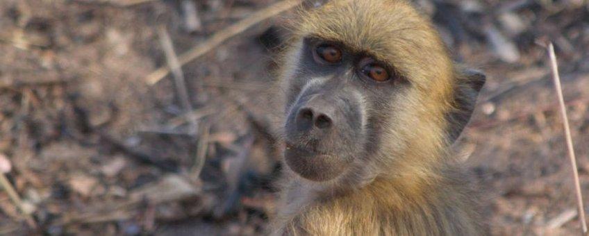 Yellow baboon, baviaan