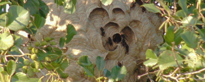 Nest Aziatische hoornaar in Veenendaal
