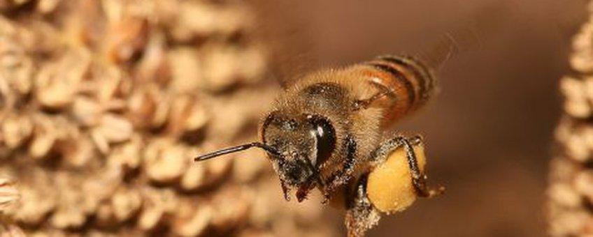 Europese honingbij met pollen