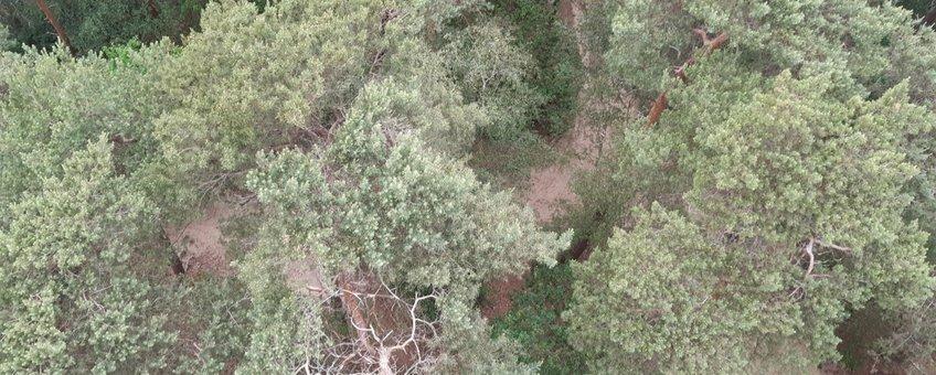 Drone-foto van bosgebied in Wijchen. Afwijkende boom gedetecteerd