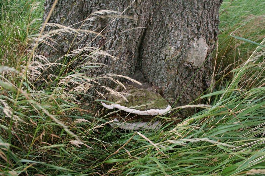 essentaksterfte Fraxinus excelsior zwam voet boom