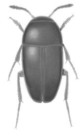 The new beetle species, Ptomaphagus thebeatles