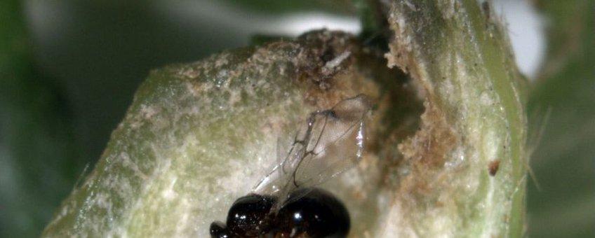 tamme-kastanjegalwesp (Dryocosmus kuriphilus) http://www.vwa.nl/