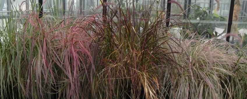Onderzochte cultivars van Pennisetum op een rijtje in de kas.