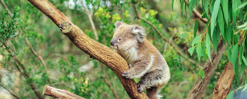Koala in het wild