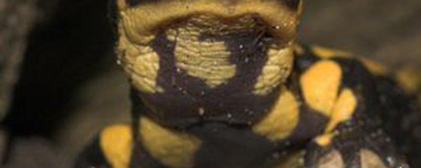 Vuursalamander