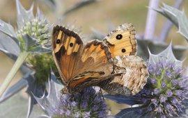 the Grayling, Hipparchia semele